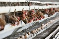 South Africa considering concessions for US chicken