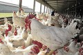 South Africa: Local poultry chief says US asking SA to shrink its economy