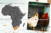 AGOA: South Africa's real chicken and egg problem