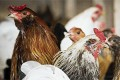 Poultry state senators turn up heat on South Africa