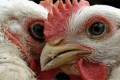 US embassy soothes SA's brooding over poultry