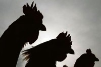 'Imported chicken is slaughtering the local industry', says South African poultry association