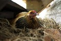 South Africa: Government must act on poultry industry crisis, says trade union body Cosatu