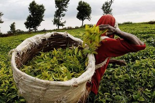 Kenya battling to get tea into the US market