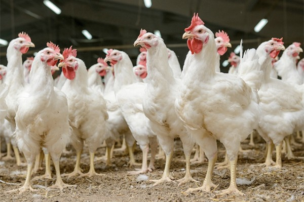 SA poultry industry takes on US chicken quota as court case brews