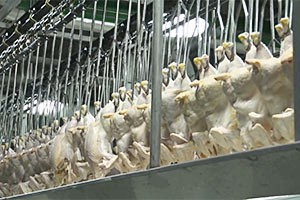 Chickenomics – who's the victim in Agoa poultry row?